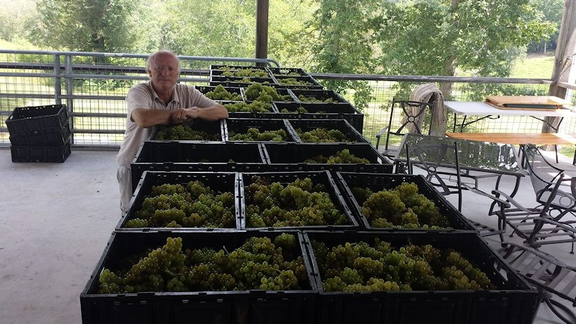 Nottelr River Valley Vineyards first harvest for 2015 Chardonel grapes is perfect.